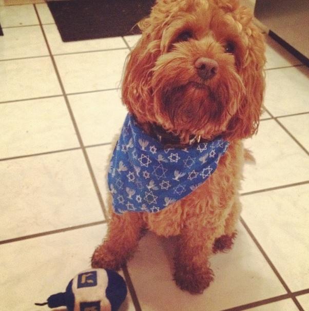 Hanukkah Pup